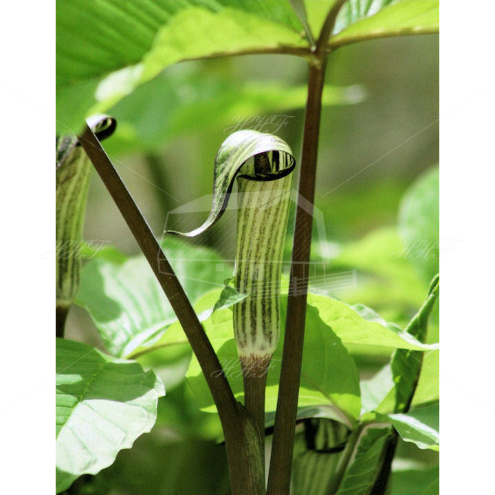Jack in the pulpit 720 HHF