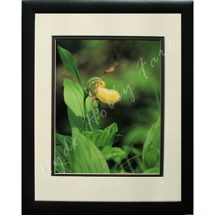 Yellow Lady Slipper 720 with HHF